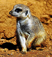 image of Meerkat at the Houston Zoo