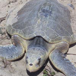 The gulf coast weather is warming up and it's also the beginning of the sea turtle   nesting season. Wildlife experts say beach-goers can help the endangered turtles   best, by just leaving them alone. Jim Bell explains.