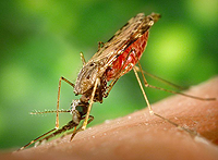 image of malaria carrying mosquito