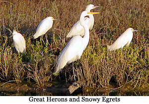 image of Great Herons & Snowy Egrets
