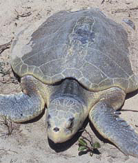 Kemps Ridley Turtle endangered turtle
