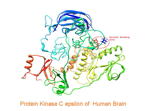computer model of the structure of Protein Kinase C epsilon