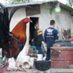 A new Texas law helped police in Galveston bust an illegal cockfighting operation. It allows authorities to arrest and charge people who are suspected of owning or breeding fighting roosters.