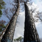 This weekend marks one year since a wildfire destroyed Bastrop State Park and burned thousands of acres. The fire tore through a unique eco-system called the lost pines forest. Now a fundraising effort is underway to restore the decimated area.