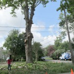 In a Houston Heights neighborhood, residents are upset that a giant sycamore tree was cut down. The owner of the property says he tried to save the 100 year old tree, but was told by experts that it was unstable.