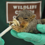 As the rainy season rolls in, many baby squirrels and birds get washed out of their nests. The Texas Wildlife Center is caring for hundreds of these animals, and they want people to know how they can help if they come across one.