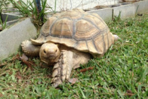 Carol The Tortoise Returned To Owners