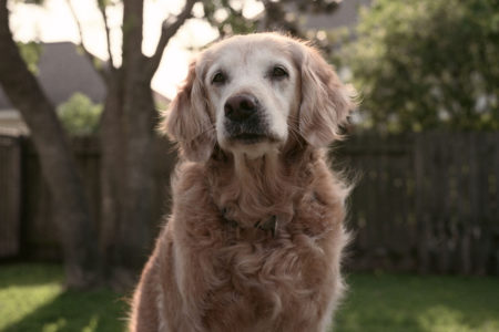 Bretagne, shown here at age 13, worked as a search dog at ground zero after the Sept. 11 attacks. She died Monday at 16, the last known surviving Sept. 11 search and rescue canine.
