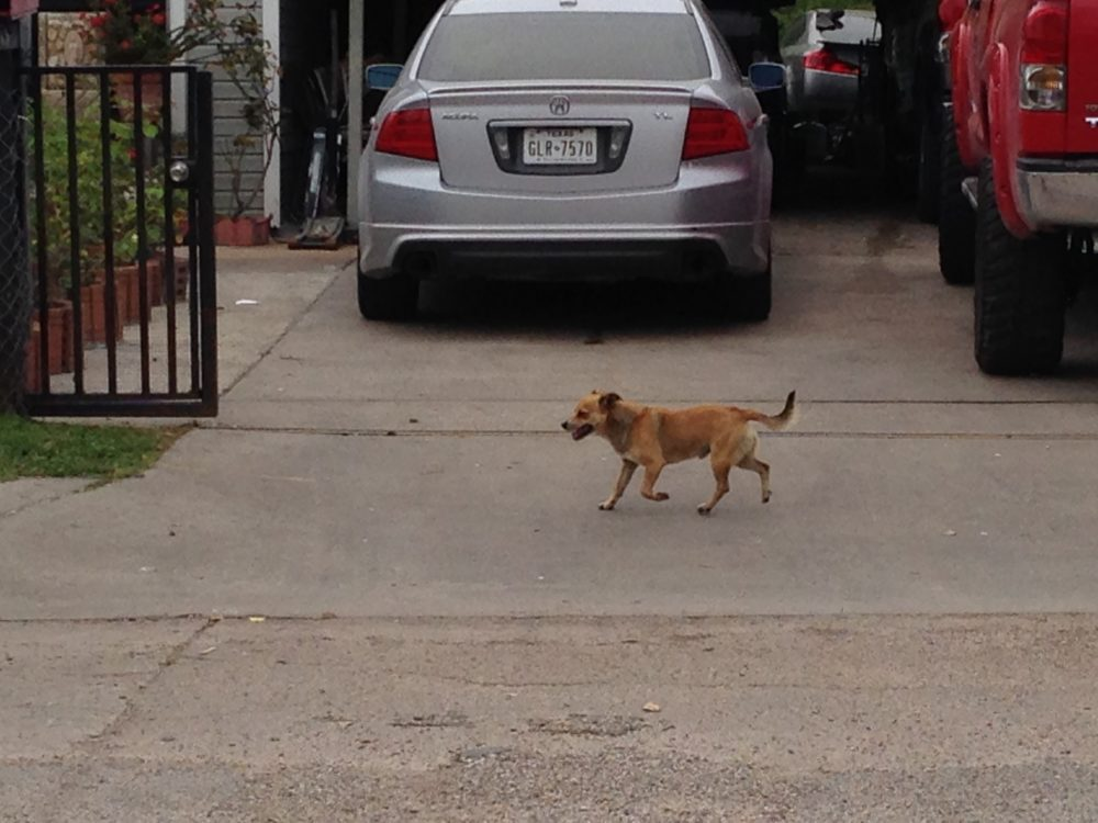 Stray dogs are relatively prevalent in some neighborhoods of north Pasadena.